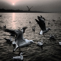 The most haraami birds, river-gulls.